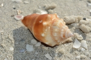 Shell-TigerTailBeach-MarcoIsland