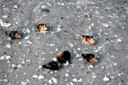 TigerTailBeach-shells
